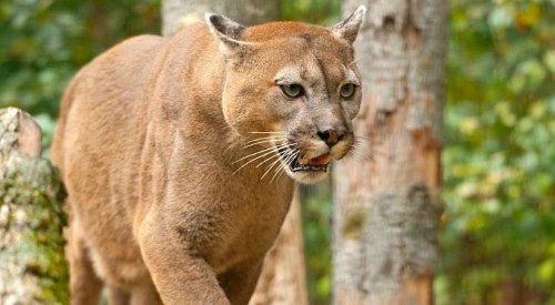 UPDATE: Conservation officer denies reported cougar sightings downtown