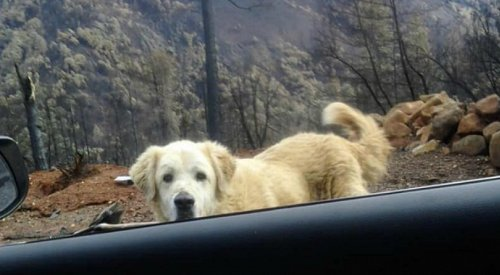 This loyal dog guarded his home weeks after wildfire burned it down